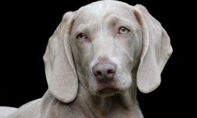Köpeklerdeki kanseri tedavi etmek için kullanılan yöntem insanlara…
