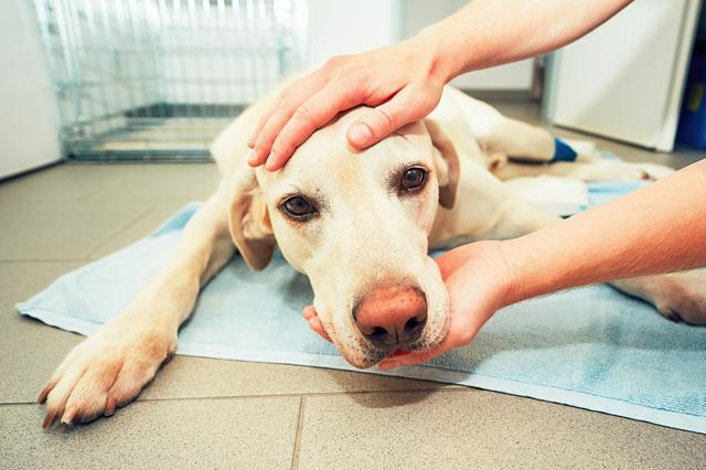 Köpeklerdeki kanseri tedavi etmek için kullanılan yöntem insanlara...