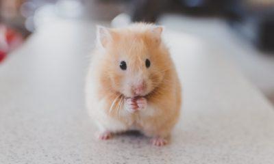 Corona hastalarının virüs yükünü azaltmanın yolunu hamster gösterdi