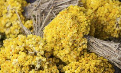 Altın otunun faydaları: Altın otu neye iyi gelir? Çayı zayıflatır…
