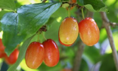 Kendisi küçük faydası büyük meyve kızılcığın sağlığa faydaları