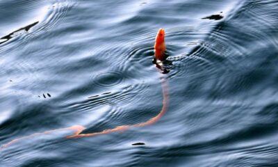 Çanakkale Boğazında yılan kurdu balığı görüntülendi